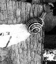 Snail b w wood leaf texture background Royalty Free Stock Images