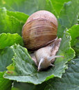 Snail on the big green leaf Stock Photo