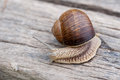 Snail closeup of a big on a wooden background Stock Image