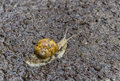 Snail crawling in dirt after a rainfall dirty Royalty Free Stock Images