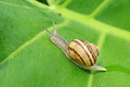 Snail crawling on a leaf Royalty Free Stock Photos