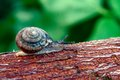 Snail creeping on a branch of a tree Stock Images