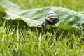 Snail on dock leaf taken in garden Royalty Free Stock Image