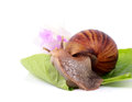 Snail eating green leaves isolated on white background Stock Photos