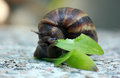 Snail eating a leaf Royalty Free Stock Image