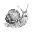 Snail Engraving Illustration Royalty Free Stock Photo