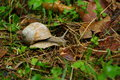 Snail on forest ground burgundy roman edible escargot hermaphrodite speeding acceleration Stock Image
