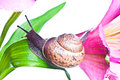 Snail on fresh leaf Royalty Free Stock Photo