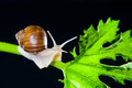 Snail grapevine on green leaf Stock Photography