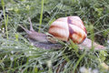Snail in the grass covered by dew helix pomatia crawler green at morning hour Royalty Free Stock Photo