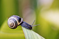Snail on green leaf banded garden in summer Royalty Free Stock Photo