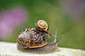 Snail on green leaf banded garden in summer Royalty Free Stock Photography