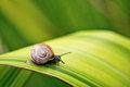 Snail on green leaf crawling in the garden in summer Royalty Free Stock Photo