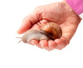 Snail in the hand isolated on white background Royalty Free Stock Photo