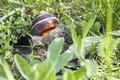 Snail helix pomatia crawler in the green grass Stock Photos