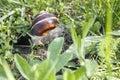 Snail helix pomatia crawler in the green grass Stock Photos
