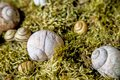 Snail houses in moss a home decoration Royalty Free Stock Photo