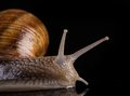 Snail isolated on black background close up Stock Photography