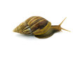 Snail isolated on white background Royalty Free Stock Photo