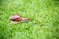 A snail with its shell house moving Slowly on green grass. Royalty Free Stock Photo
