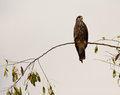Snail Kite Stock Image