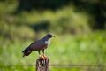 Snail kite eating a crab Royalty Free Stock Image