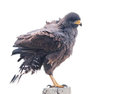 Snail Kite (Rostrhamus sociabilis) Royalty Free Stock Photos