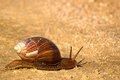 Snail in kruger national park south africa Stock Image
