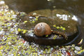 Snail on the lake in the spring Stock Images