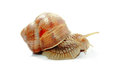 Snail land on white background Stock Photography