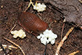 A snail lays eggs Royalty Free Stock Photo