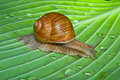 Snail on leaf Royalty Free Stock Photo