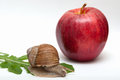 Snail on leaf. apple. Royalty Free Stock Photo