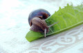 Snail on a leaf picture of Royalty Free Stock Photography