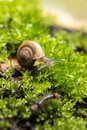 snail and moss leaf Royalty Free Stock Photo