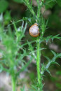 Snail on prickle weed in mountains of abkhazia Royalty Free Stock Photography