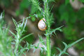 Snail on prickle weed in mountains of abkhazia Royalty Free Stock Photo