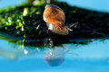 Snail reflection Stock Photography