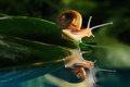 Snail reflection Royalty Free Stock Photography