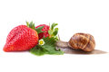 Snail and ripe strawberry creeping on Royalty Free Stock Photos