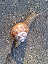 Snail on the road Royalty Free Stock Photo