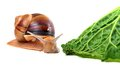 Snail and savoy cabbage leaf Stock Photos