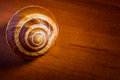 Snail shell single escargot de bourgogne on a wooden table Royalty Free Stock Images