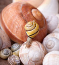 Snail on Shells Royalty Free Stock Image