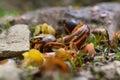 Snail shells broken by song thrush Turdus philomelus