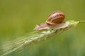 Snail on a spike Royalty Free Stock Image