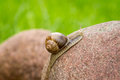 Snail on a stone climbing rock shallow depth of field nature background Royalty Free Stock Images