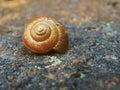 Snail on stone closeup macro detail of Stock Image