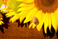 Snail on sun flower Royalty Free Stock Photo