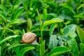 A snail on tea leaf Stock Images